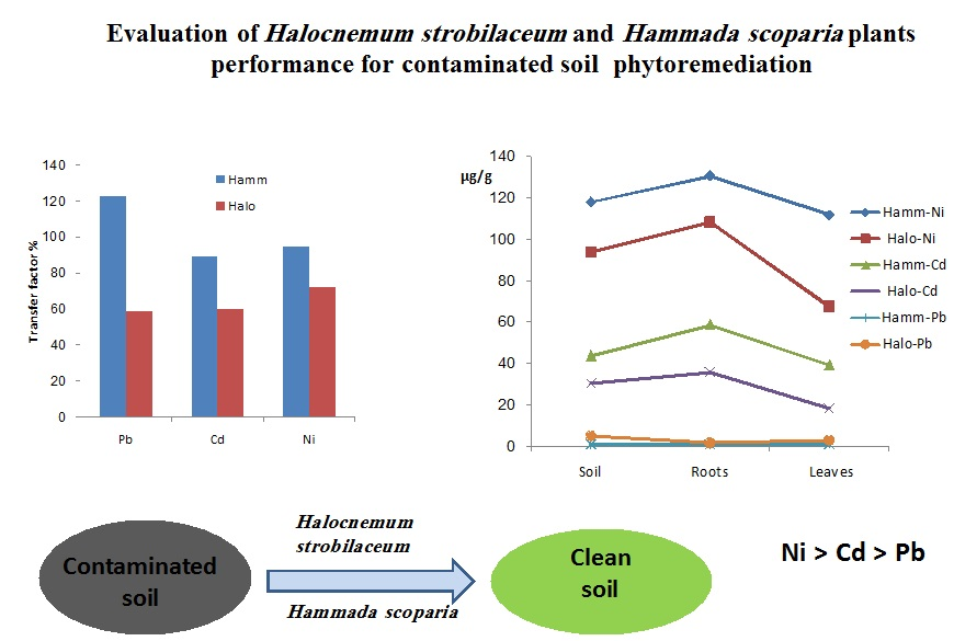 Evaluation of Halocnemum strobilaceum and Hammada scoparia plants performance for contaminated soil phytoremediation
