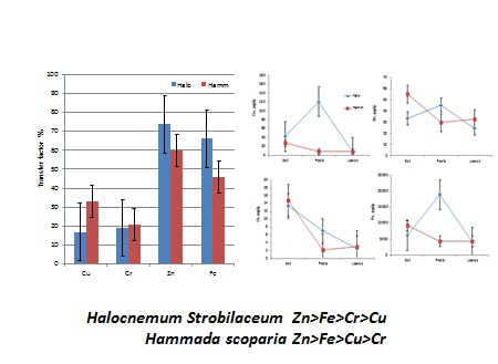Evaluation of the phytoremediation performance of Hammada scoparia and Halocnemum Strobilaceum for Cu, Fe, Zn and Cr accumulation from the industrial area in Benghazi, Libya